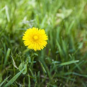 A yellow dandelion in grass
