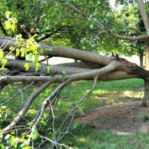 bradford pear tree that has split