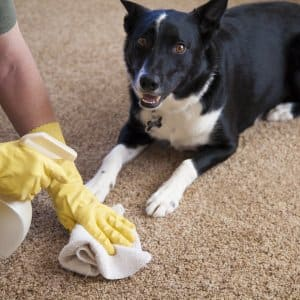 How To Get The Smell Of Pet Urine Out Of Carpet Angie S List