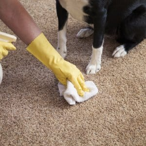 cleaner wearing gloves cleaning pet stain on carpet