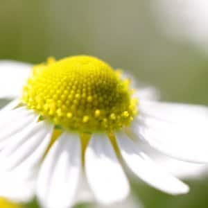 yellow and white chamomile flower