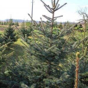 Colorado blue spruce tree