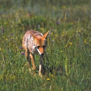 According to the Indiana Department of Natural Resources, the coyote population in Indiana is higher than it was a decade ago. (Photo courtesy of IDNR)