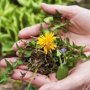 Dandelions are an adaptable weed that can grow in many lawn conditions, but they really thrive in clay soil. (Photo by Katelin Kinney)