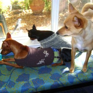 Three small dogs sit on a window seat