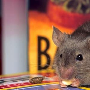 One Mouse Or Rat May Seem Harmless, But They Cause Diseases Deadly To  Humans,