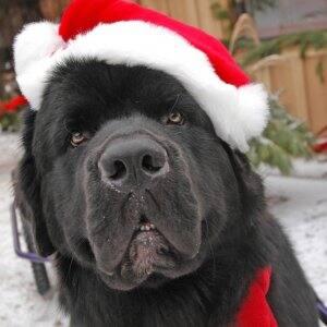 newfoundland dog with santa hat