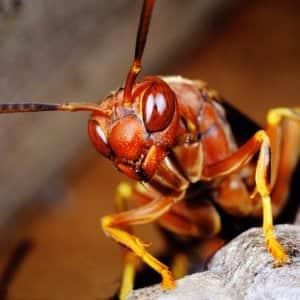 Paper Wasp summer pest