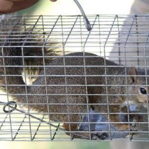 squirrel in a trap