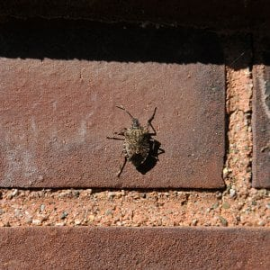 stink bug on brick wall (Photo by Photo courtesy of Purdue Extension Entomology)