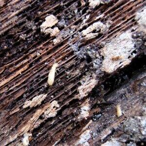 When the evidence of termites in a home is ignored, serious damage can occur. (Photo courtesy of Angie's List member Bryce N. of San Francisco)