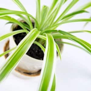 Spider plants grow baby plants in the same pot as a mature plant, which can be transplanted to a new pot. (Photo courtesy of Eldon Lindsay)