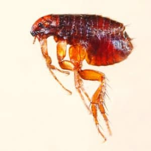 microscopic view of a flea