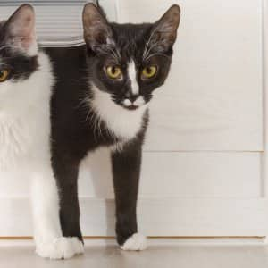 two black and white cats coming through cat door