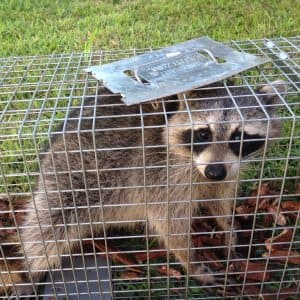 raccoon in wildlife control cage