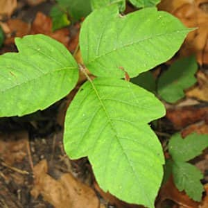 poison ivy on ground