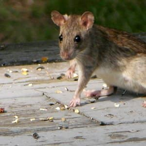 What Are the Dangers of Rat Poison in Pets?   Angie's List