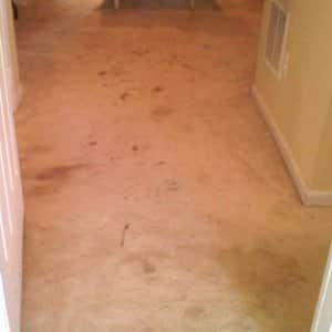 Never rub a carpet stain or you risk spreading it around. Blotting will help ensure that you lift the stain out of the carpet.