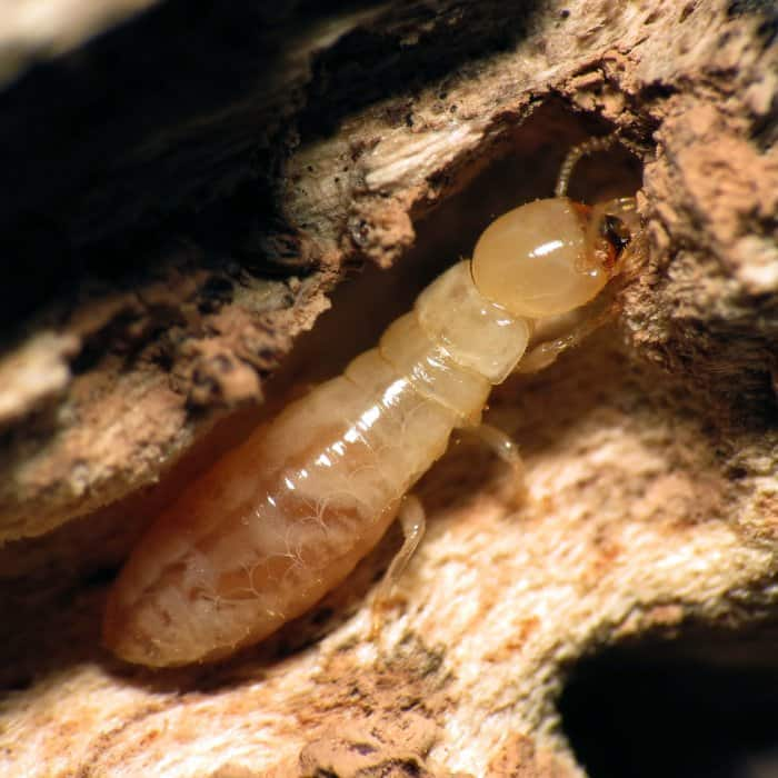 home inspection termite