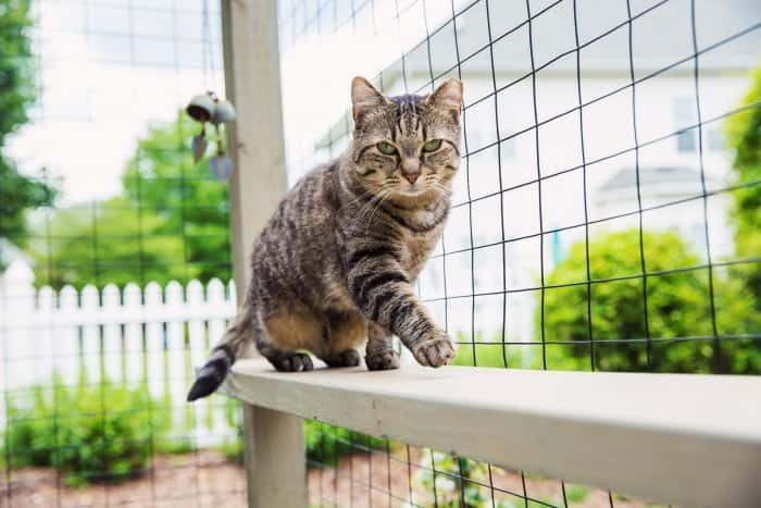 Cat walking along the fence of a catio