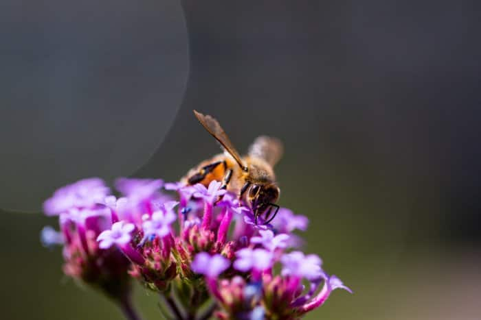A bee atop a purple flower