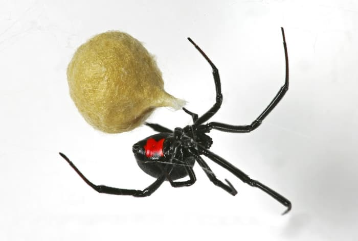Black widow spider and egg sack