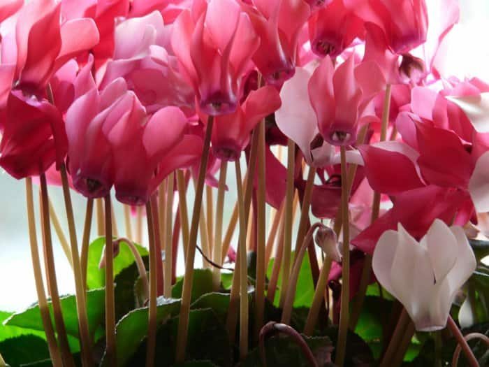 cyclamen plant with pink blooms