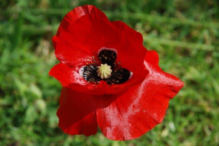 crimson oriental poppy
