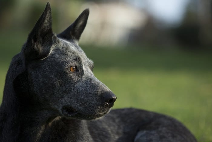 black dog gazing to right