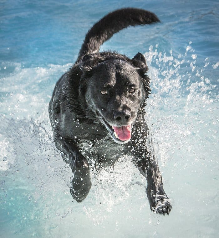 black dog jumping into pool