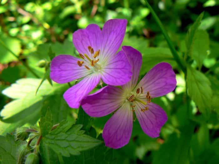 pink wild geranium flower
