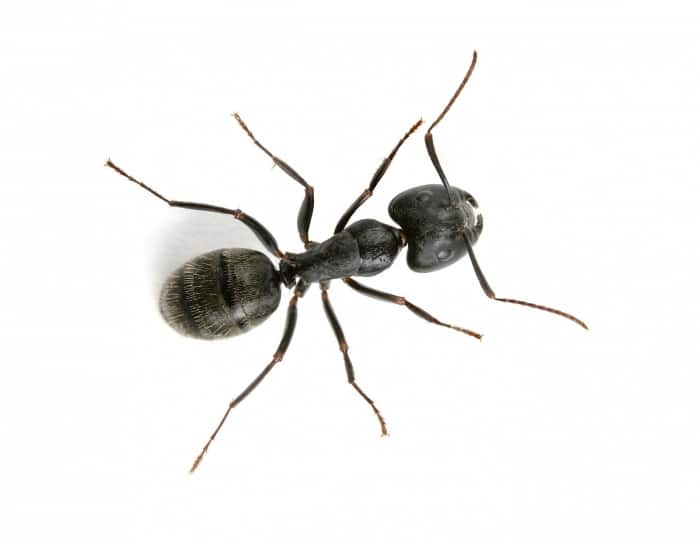 ant summer pest