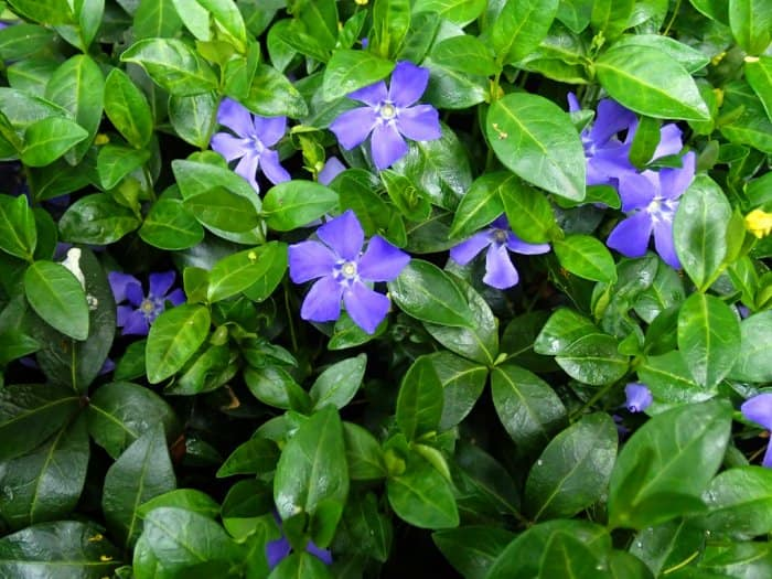 Periwinkle plant with purple blooms