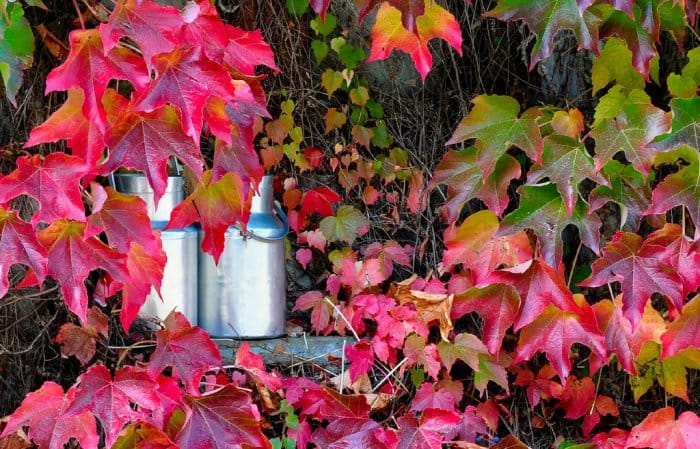 Virginia Creeper plants in fall