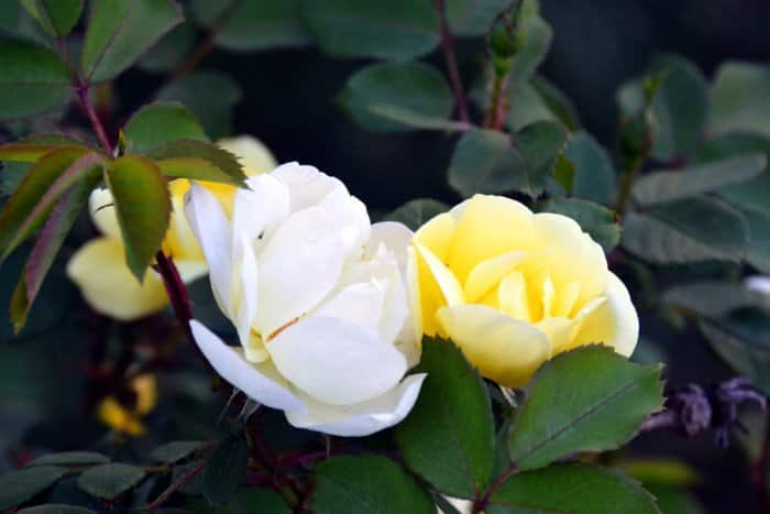 White and yellow Knock Out roses