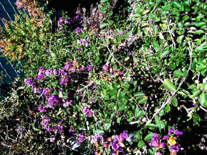 Dwarf crape myrtle with purple blooms