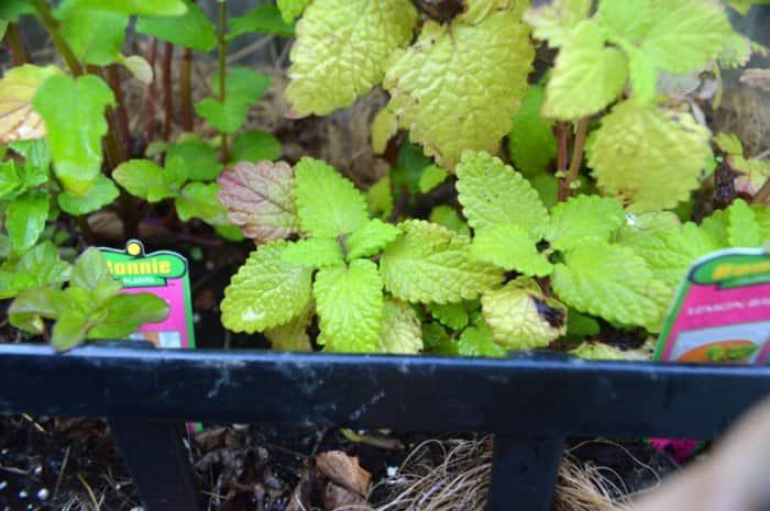 Green leaves of lemon balm plant