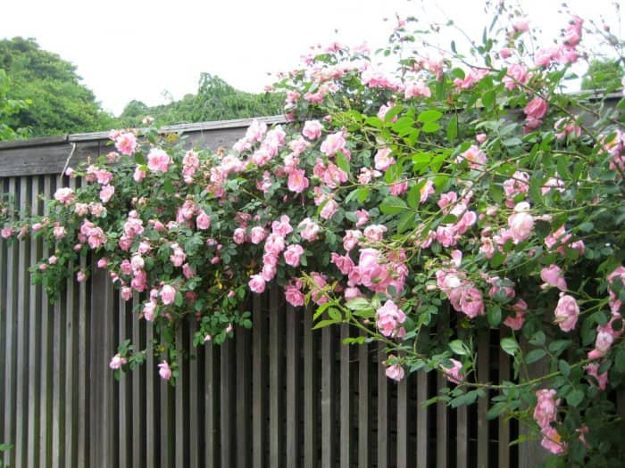 Flowering vines and climbing plants for pergolas and for Climbing flowering plants for fences