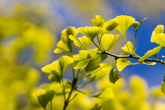 The yellow leaves of a ginko tree.