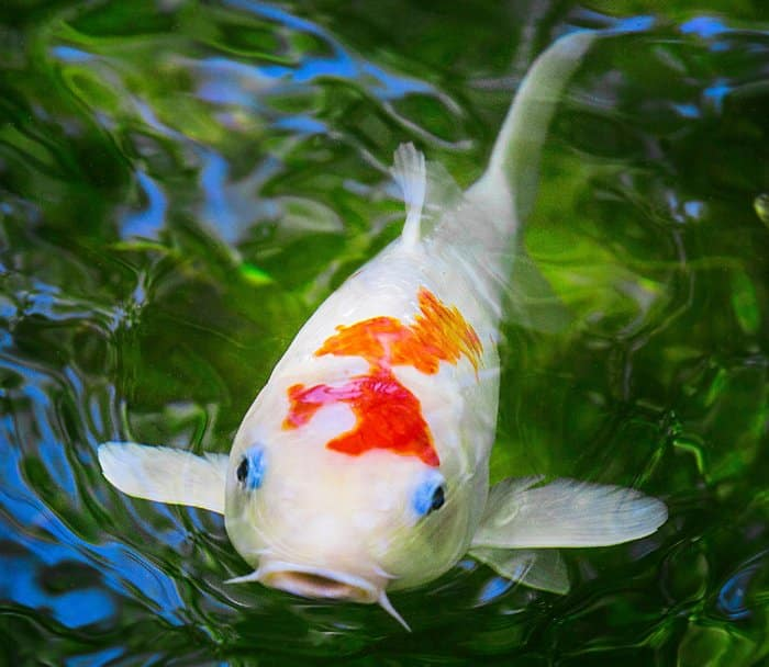 closeup of koi fish in water