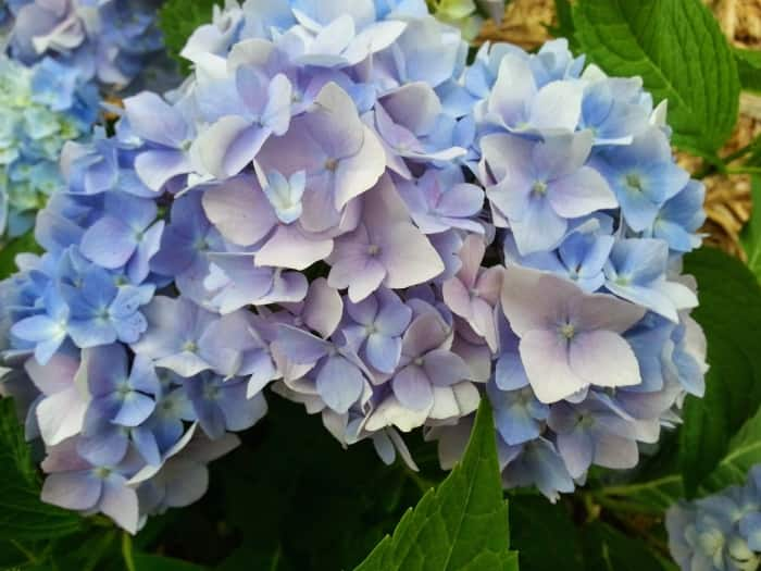 10 poisonous plants to weed out of your yard angies list blue hyrdrangea flower closeup mightylinksfo