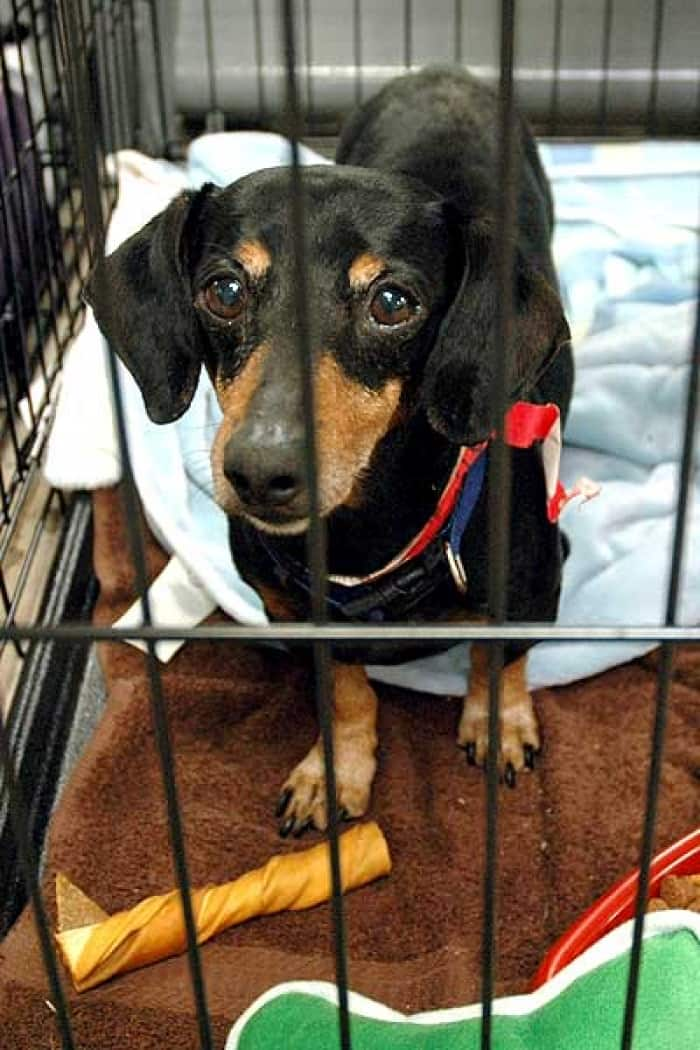 Dachshund in a cage
