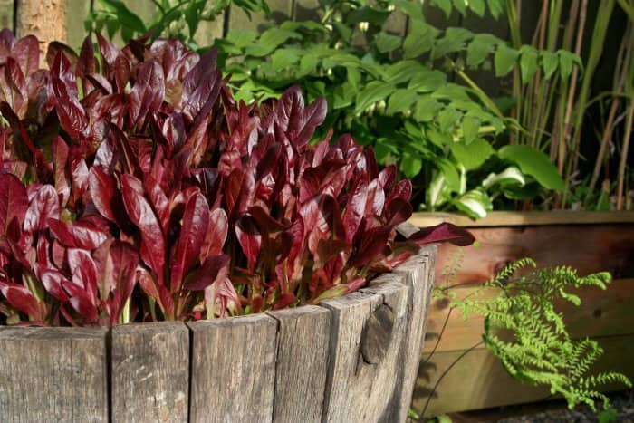 red deer's tongue lettuce planted in wine barrel