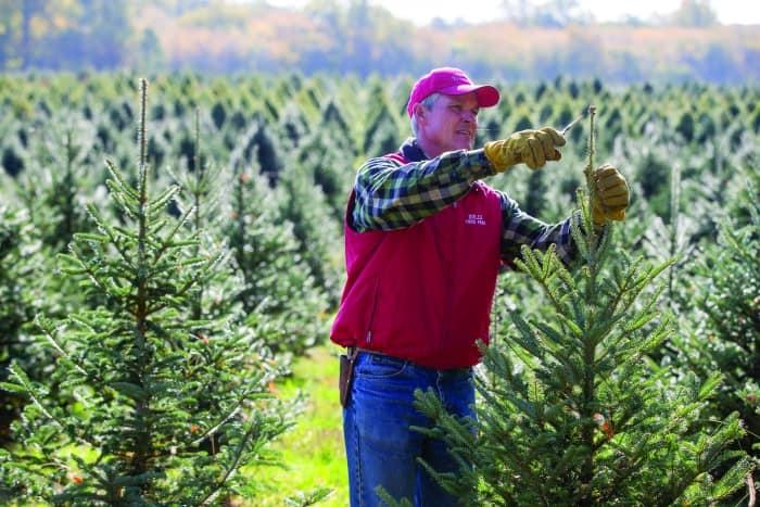 tree farmer pruning Christmas tree amid rows of trees