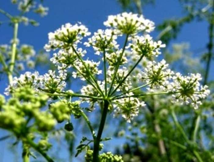 10 poisonous plants to weed out of your yard angies list poison hemlock mightylinksfo