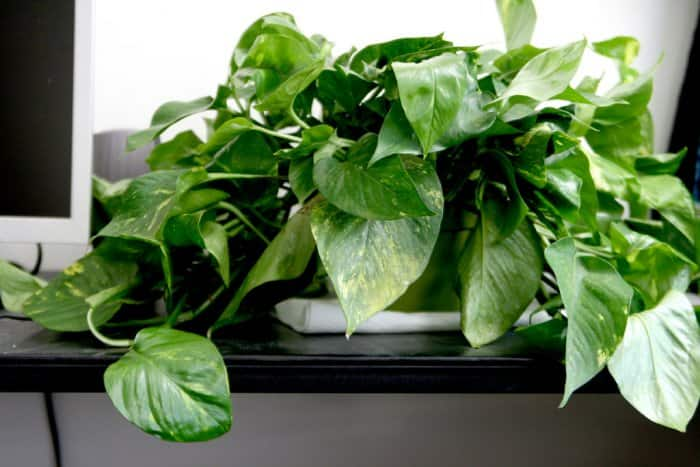 While beautiful, pothos and several other house plants can be poisonous to pets. Check with your vet before purchasing any plants. (Photo courtesy of Quinn Dombrowski)