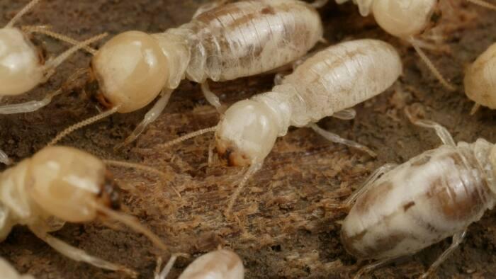 termites crawling on wood