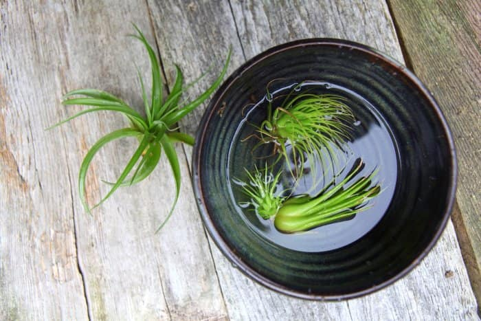 Image result for watering air plants