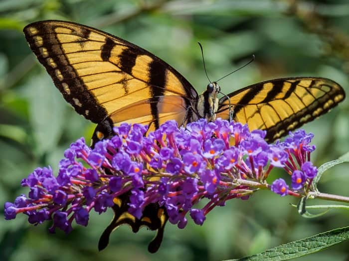 Add Flowers That Attract Butterflies To See Plenty Of Beautify Butterflies  Throughout The Summer. (