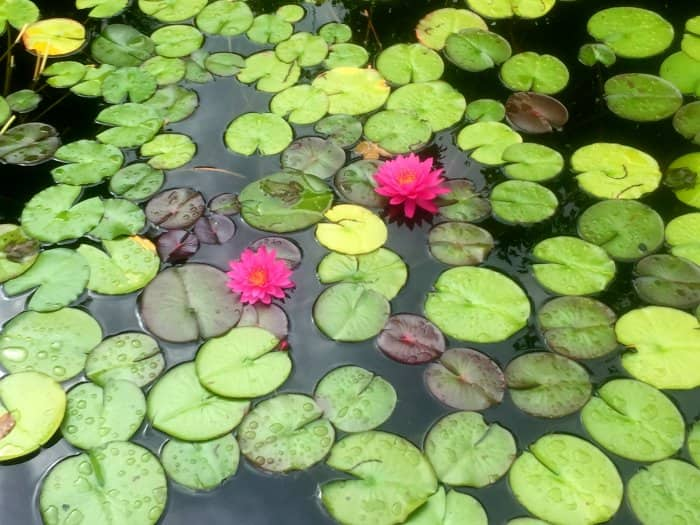 Water lilies are classic additions to any pond. (Photo courtesy of EyeEm)